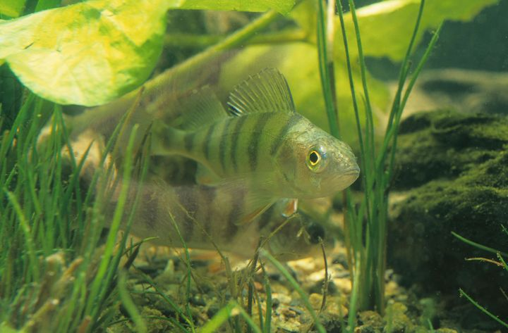 A Swedish researcher found that young perch exposed to high levels of plastic end up preferring plastic particles to real food. Pictured: European perch.