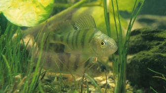 European perch, Perca fluviatilis.