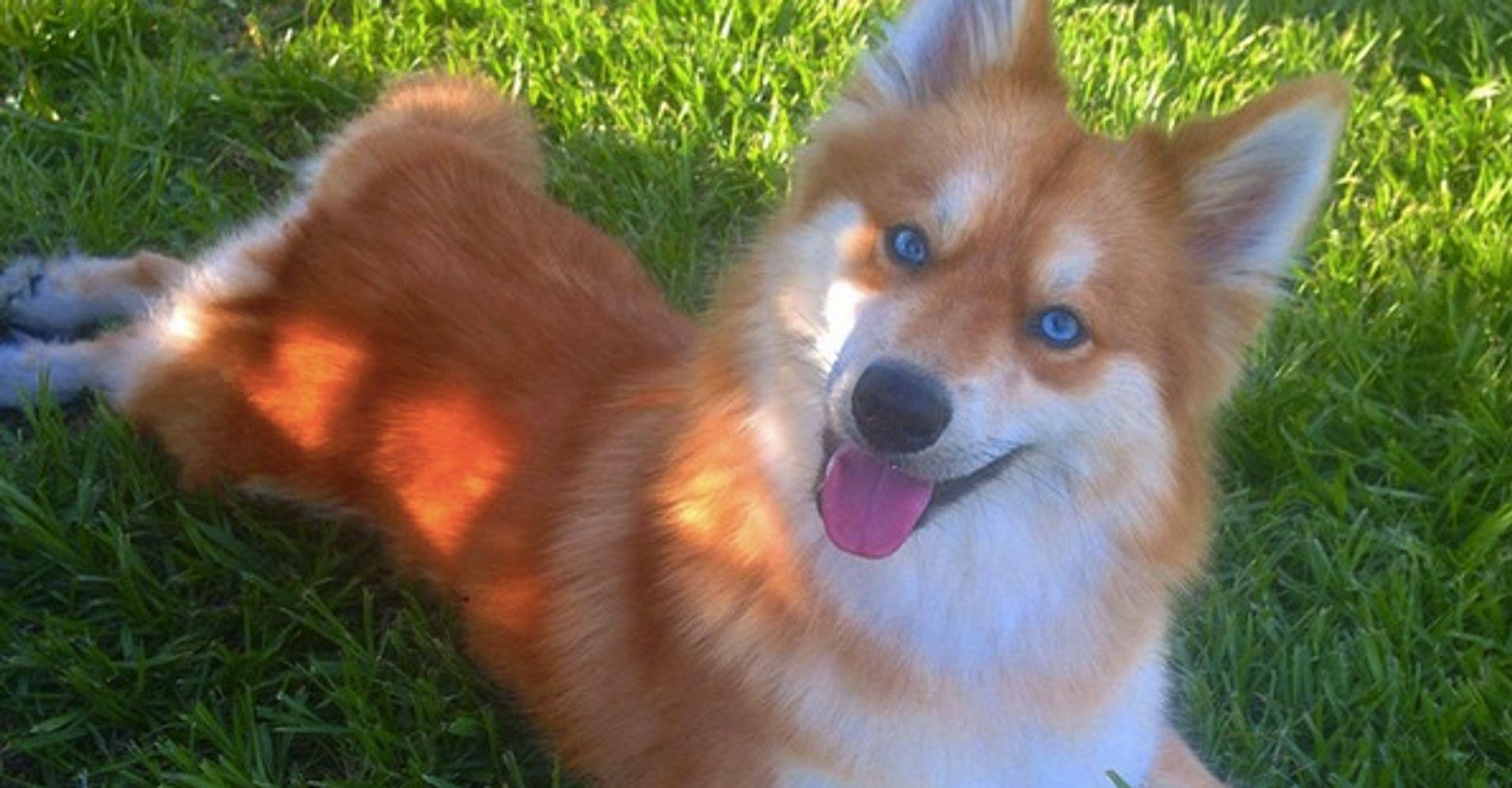 dog that looks like a fox - HD1910×995