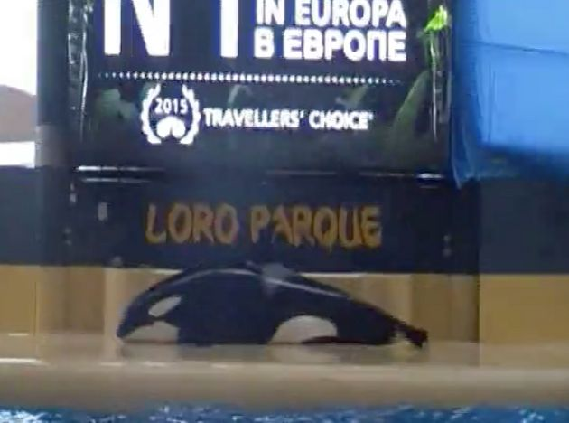 Morgan beached herself for more than ten minutes after the orca show at Loro Parque in