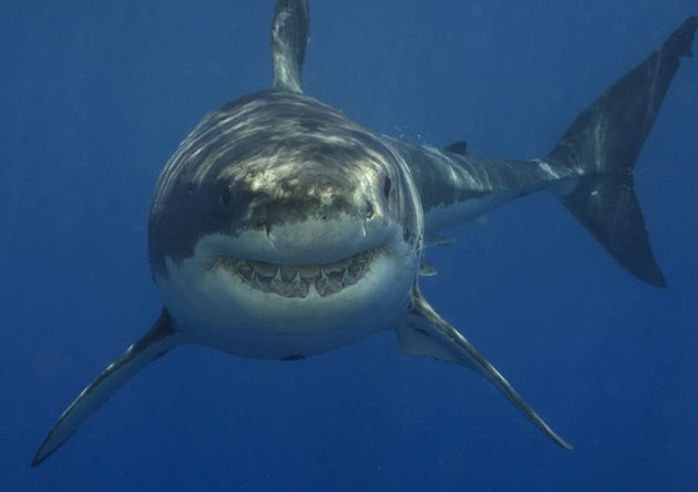 Collyer is believed to have been attacked by a great white