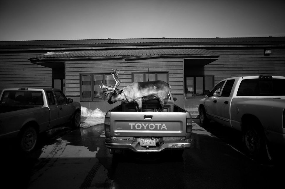Velvet Eyes, a pet reindeer belonging to Carl Emmons, stands in the back of a pickup truck outside a market and gas station i