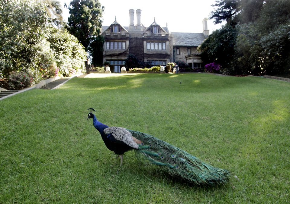 A peacock walks on the grounds of the Playboy Mansion.