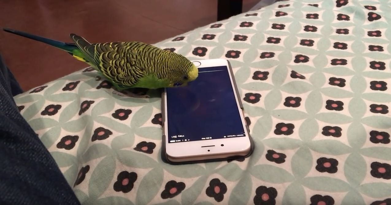 This Parakeet Has Learned How To Use Siri On His Owner's