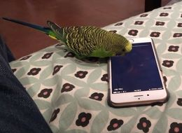 This Parakeet Has Learned How To Use Siri On His Owner's iPhone