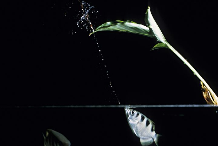 An archerfish spits a jet of water.