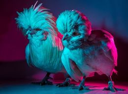 These Ultra-Glam Chickens Are Bringing Sexy Bawk
