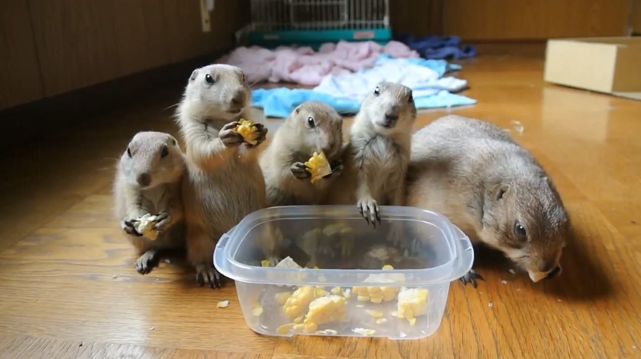 Baby Prairie Dogs Adorably Munch On Sweetcorn With Their