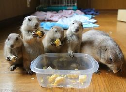 Baby Prairie Dogs Adorably Munch On Sweetcorn With Their Mum