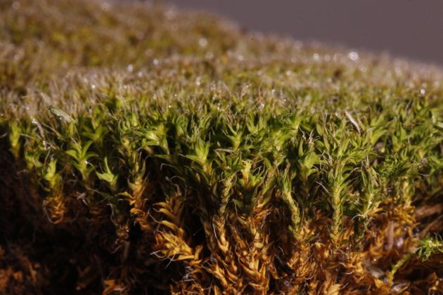 This desert moss is extremely good at absorbing