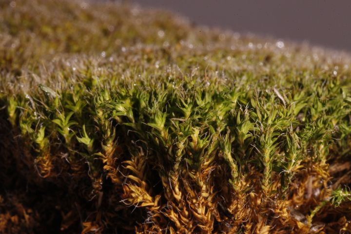 This desert moss is extremely good at absorbing moisture.