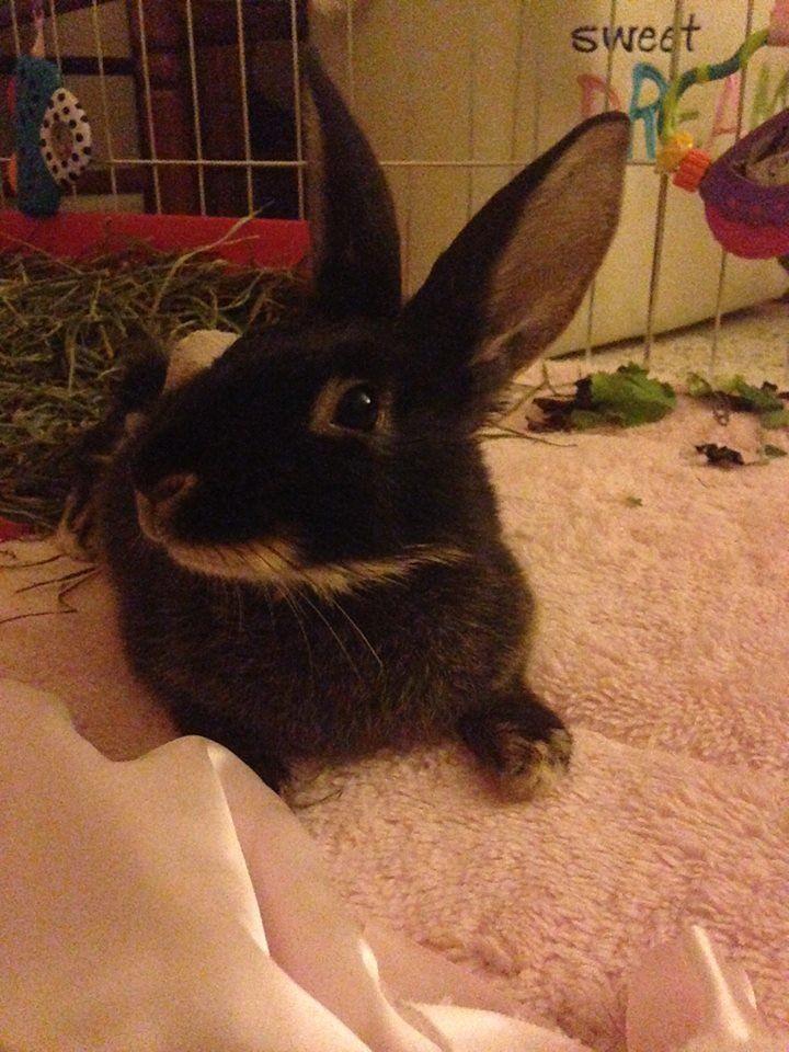 Fuzzy recovering in her playpen.