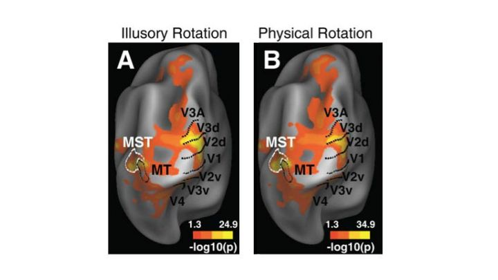 Brain scans show the same brain areas (the MT and a related region) activate when people see illusory or real motion.
