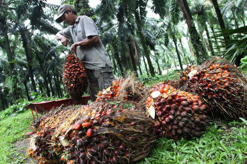 A worker collects palm fruit at a plantation in Indonesia's north Sumatra province on Nov. 1,