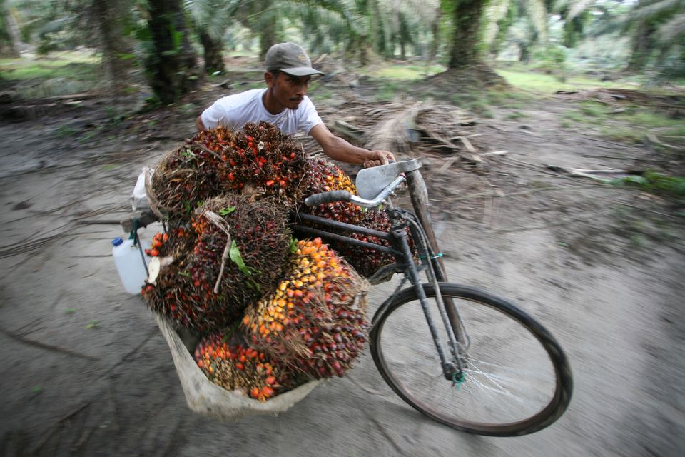 A worker collects palm fruits in the Serdang Bedagai district of Indonesia's North Sumatra province on...