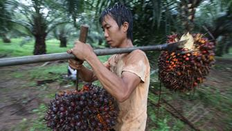 A worker carries palm fruits on his shoulder at PT Perkebunan Nusantara VIII in Cimulang, Bogor, West Java province January 17, 2011. Palm oil rallied in recent weeks, driven by concerns that heavy rains have curbed Malaysian and Indonesian output and a dry spell may affect the Argentine soy crop. Indonesia is the world's top palm oil producer.  REUTERS/Dadang Tri  (INDONESIA - Tags: AGRICULTURE BUSINESS)