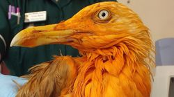 Seagull Rescued After Falling Into Vat Of Tikka