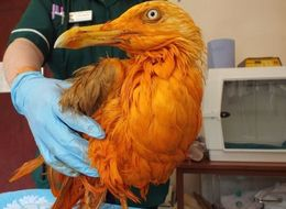 This Seagull Is Now Bright Orange Because It Fell Into A Vat Of Tikka Masala