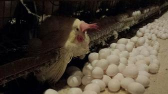 Undercover investigation of a Hillandale egg farm in Maine.