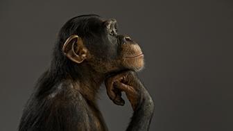 Chimpanzee pondering his life like the Thinker, Pan troglodytes