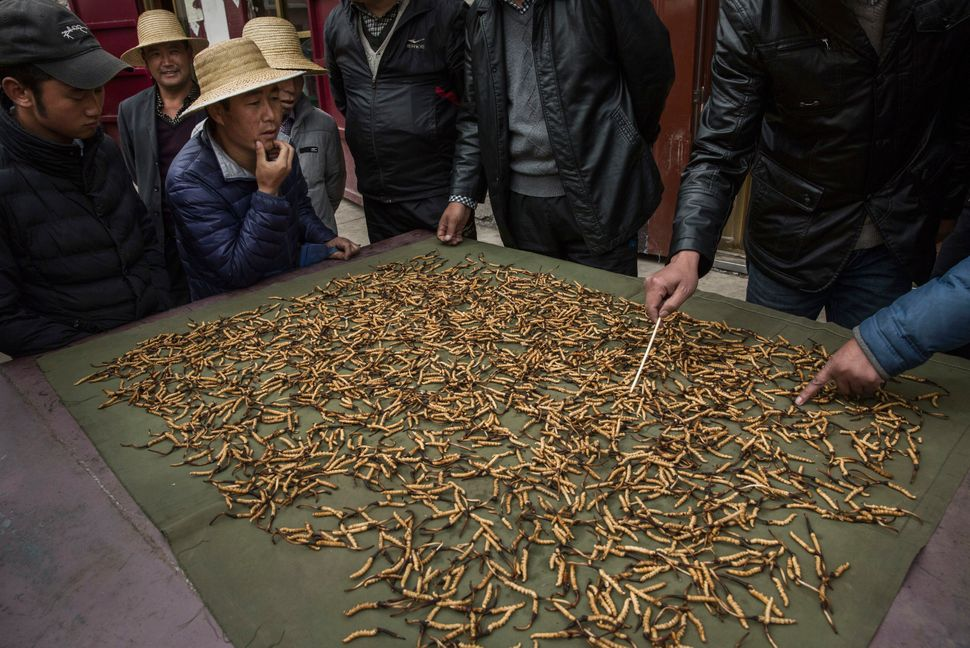 Tibetan and Chinese buyers look at cleaned cordycep fungus for sale at a market in Yushu on May 22, 2016.