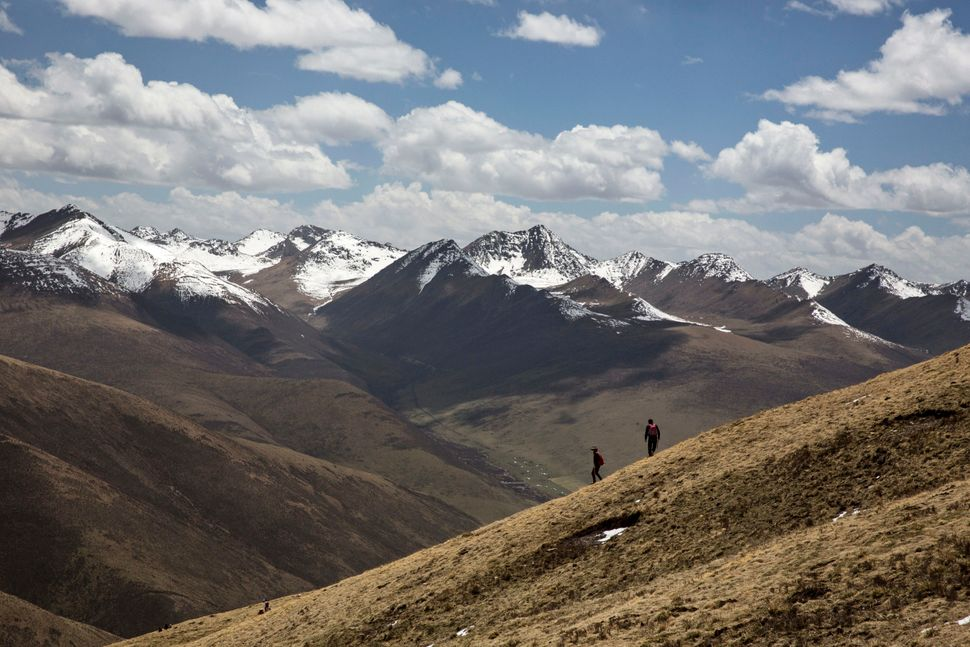 Tibetan nomads walk on a hillside as they harvest cordycep fungus on May 19, 2016.