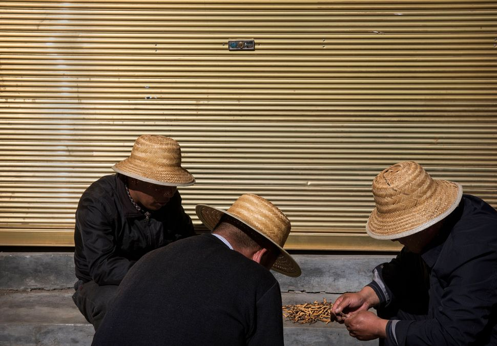 Men examine and sort cordycep fungus at a market in the townof Yushu on May 24, 2016.