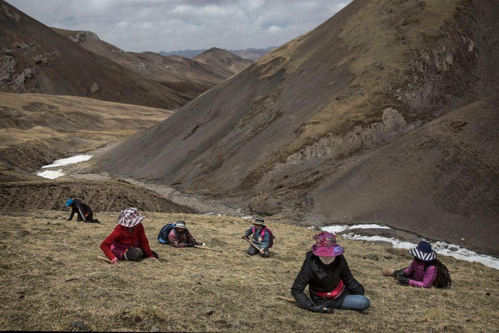 Tibetans pick cordycep fungus at high altitudes on May 23, 2016.