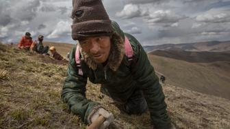 SERSHUL, CHINA - MAY 20:  A Tibetan nomad crawls while harvesting cordycep fungus on May 20, 2016 near Sershul on the Tibetan Plateau in the Garze Tibetan Autonomous Prefecture of Sichuan province. The Tibetan Plateau is home to the cordyceps  fungus, also known as caterpillar fungus, is a parasitic spore that thrives in high altitude, low temperature conditions on the Tibetan plateau. While not historically a part of Tibetan culture, cordyceps are a prized ingredient of traditional Asian medicinal treatments that purportedly heal ailments ranging from asthma to impotence to cancer. Demand in China alone has created a booming economy for what Tibetans call yartsa gunbu, or summer grass, winter worm, which sells for up to $50,000 US per pound. As the state-supported cordyceps industry has developed, Tibetans who rely primarily on farming and herding have turned to the weeks-long harvest as a means of earning income to last through the year. The annual gold rush has transformed parts of rural Tibetan areas, generating about 40% of the local economy. However, environmentalists increasingly warn that over-harvesting of cordyceps carries the cost of degradation to mountain grasslands that are essential for yak and cattle grazing.  Due to below average rainfall the 2016 harvest is expected to be the lowest on record with many harvesters reporting yields way lower then expectations. (Photo by Kevin Frayer/Getty Images)