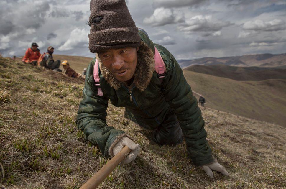 A Tibetan man harvestscordyceps on May 20, 2016. Photojournalist Kevin Frayer capturedthe harvest as part of an o