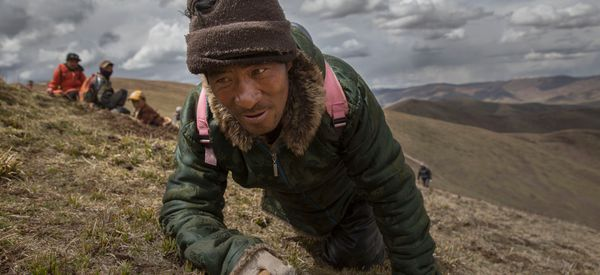 Inside The Dying Days Of Tibet's Caterpillar Fungus 'Gold Rush'