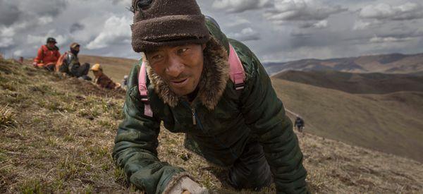 Inside The Dying Days Of Tibet's Caterpillar Fungus 'Gold Rush'