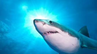Great white shark, Carcharodon carcharias, Isla Guadalupe, Baja, Mexico