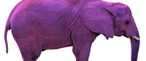 Animal Clipping Path Elephant Isolated Large Magic Mammal One Animal Pachyderm Purple Side View Trunk Tusk White Background Wrinkled