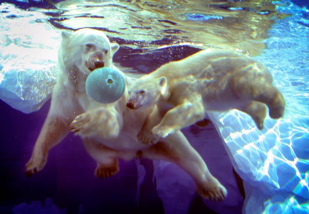Talini as a 9-month-old cub with her mother, Barle at the Detroit Zoo in 2005. Barle was rescued from...