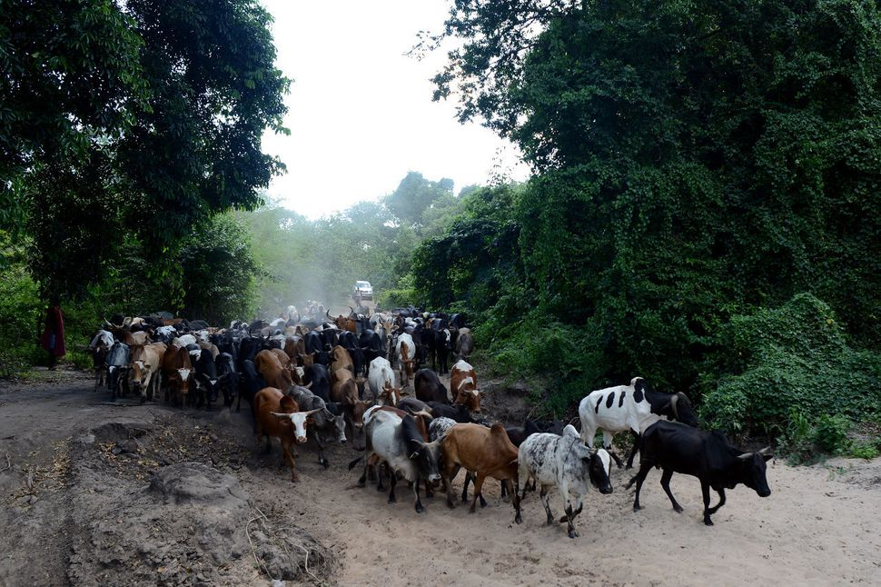 Cattle being herded from Nambogo market by Barabaig pastoralists in Mororgoro region.