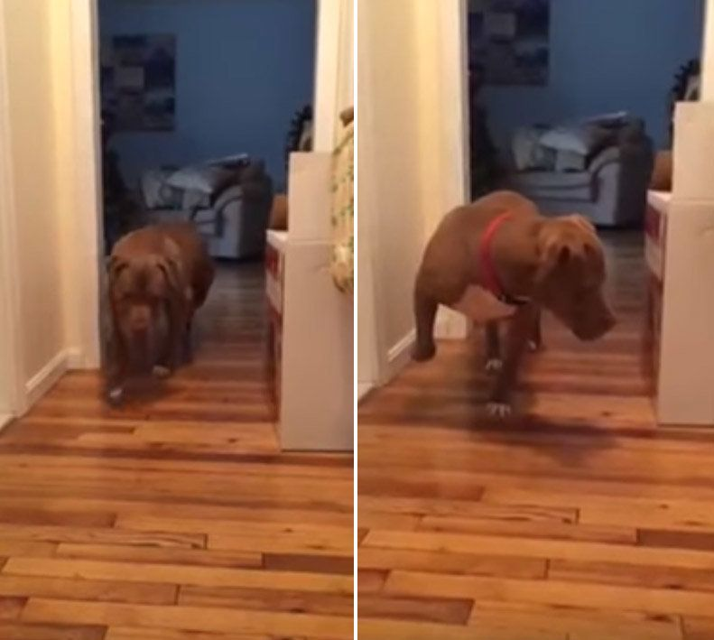 Adorable Pitbull Nervously Tiptoes To Avoid Waking The
