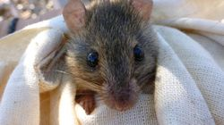 This Is Probably The First Mammal Extinct Because Of Man-Made Climate
