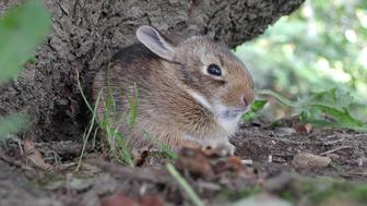 'A very young wild rabbit, scared out of it's nest by a lawn mower.'