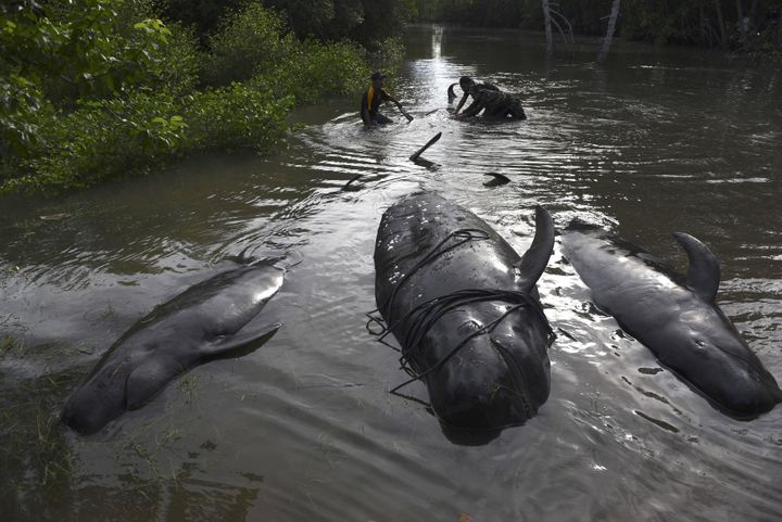 An Indonesian soldier and resident inspect dead whales stranded on the coast of Pesisir beach.