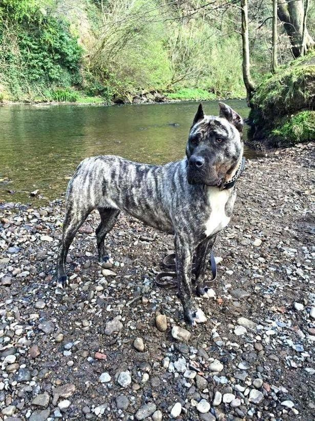 Troy, a rare-breed Spanish presa canario, who was strangled and dumped in a canal, became the first dog...