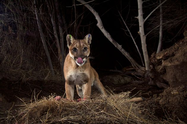 There are 4,500 mountain lions in
