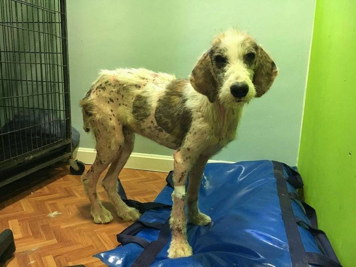 The animal rescue group believes that Bosque, a third dog, came from the same awful situation as Raiz and Tierra.