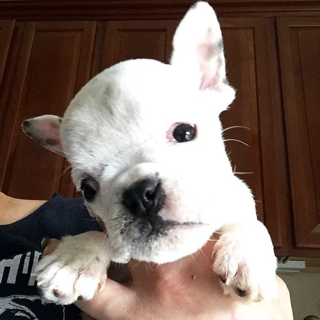 Feisty French Bulldog Cant Walk But Hes As Playful As Any