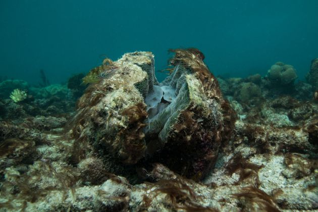 A dying Giant Clam on the Great Barrier