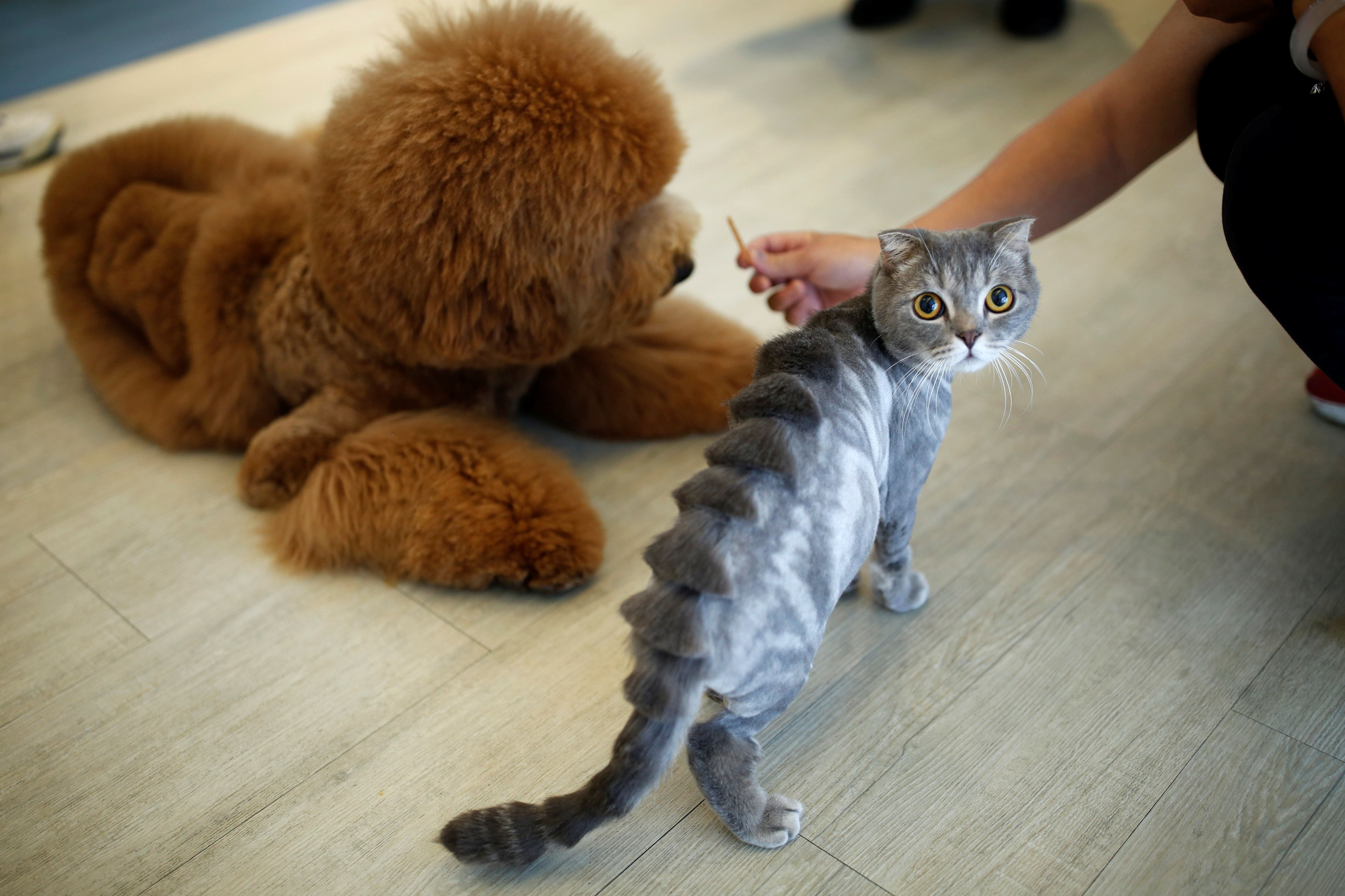 """A cat with a """"stegosaurus spine""""€ design cut into its fur"""