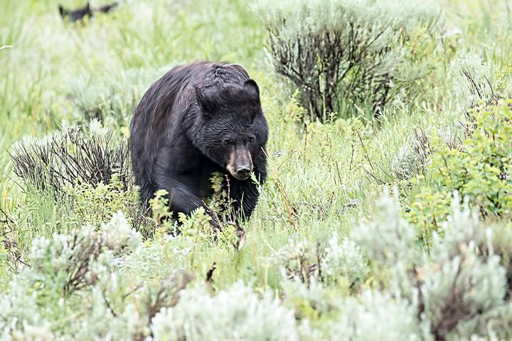 A fire official said the weekend attack by a black bear (not the one pictured) was the first to occur in the area in years.