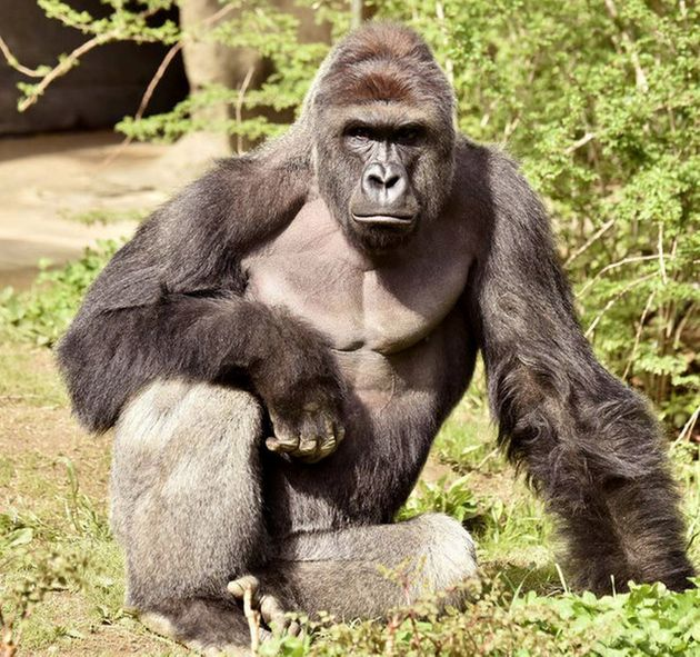 Harambe was shot dead at a Cincinnati Zoo in