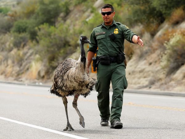 U.S. Customs and Border Patrol officer Constantino Zarate tries to herd an Emu off the highway as a wildfire continues to bur