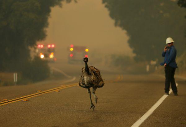 An emu runs to escape an approaching wildfire as it burns near Potrero, California, U.S. June 20, 2016.